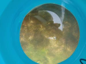 箱メガネから見える人工リーフに育つ海藻