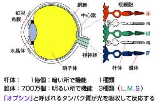 色覚タイプと視細胞の図